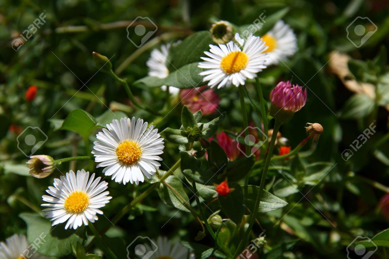 Three White Flowers Of Camomileamomile Or Camomile Is A Common