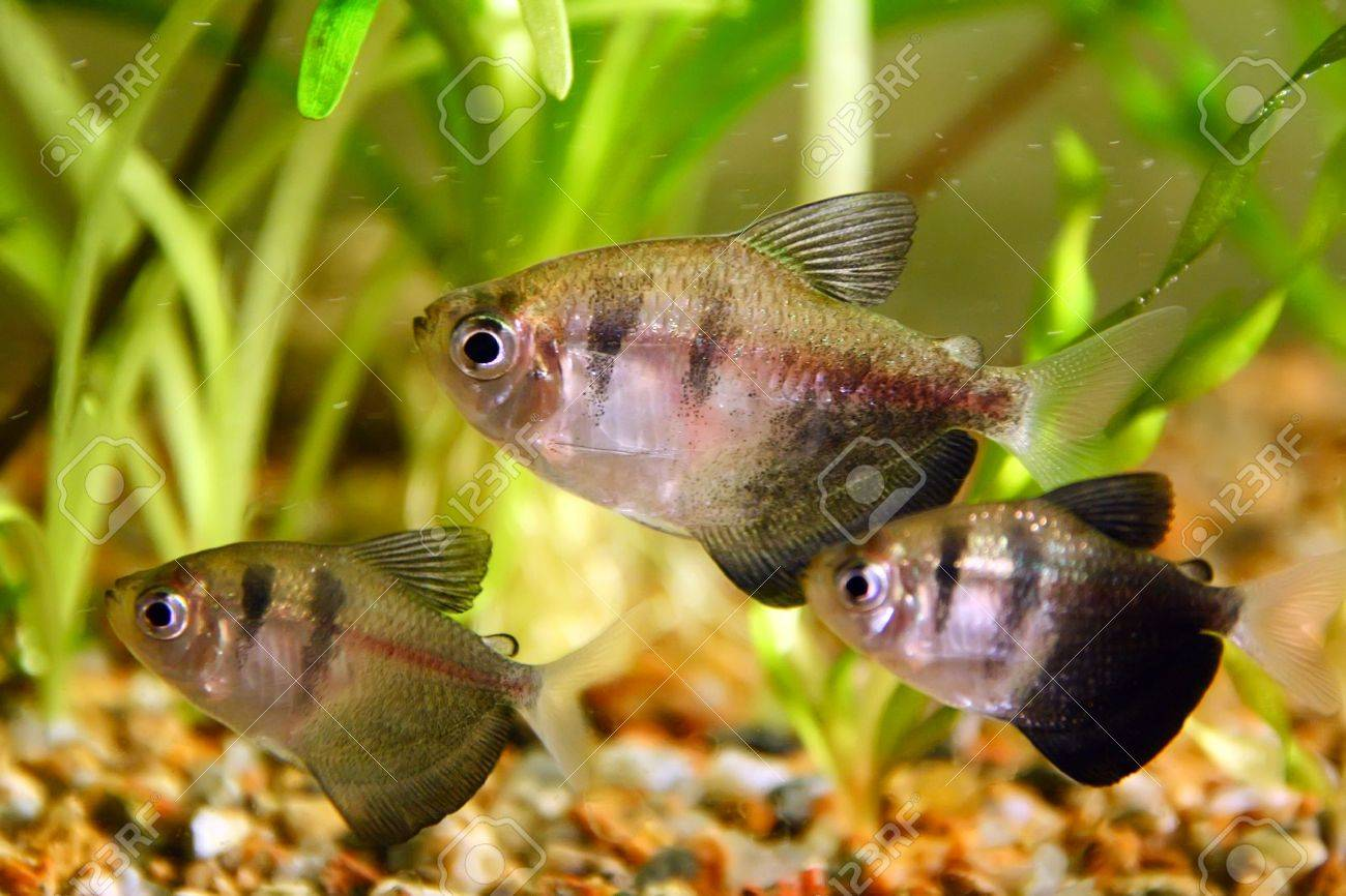 Black and yellow freshwater aquarium fish - Black Tetra The Black Tetra Gymnocorymbus Ternetzi Also Known As The Black Skirt