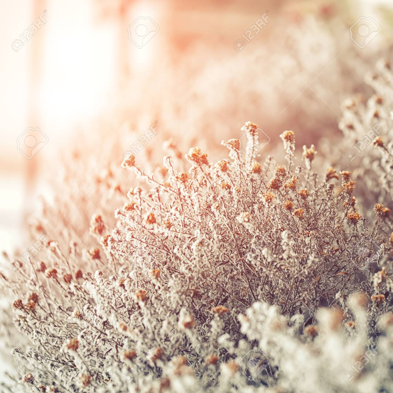 frozen flowers. frost on flowers. Group of flowers at sunset - 44872578