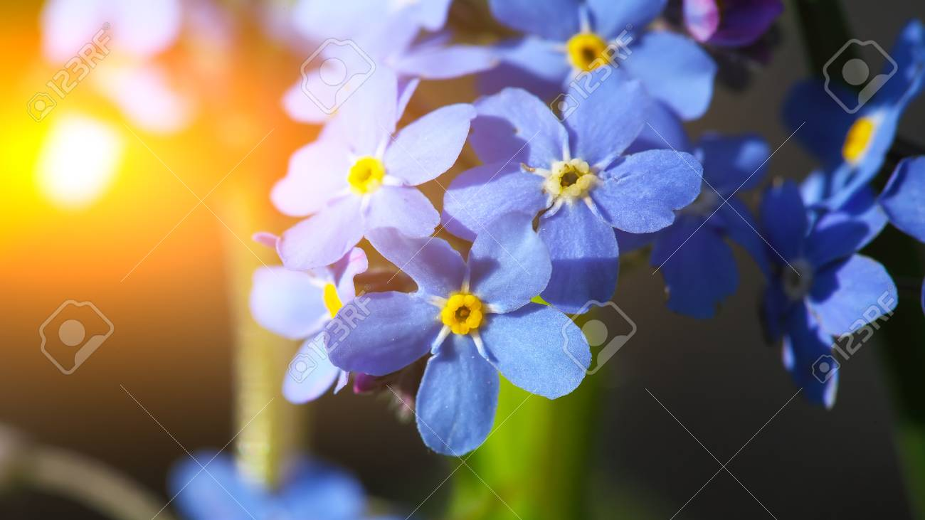 Blue Forget me not flowers on a green background - 73007672