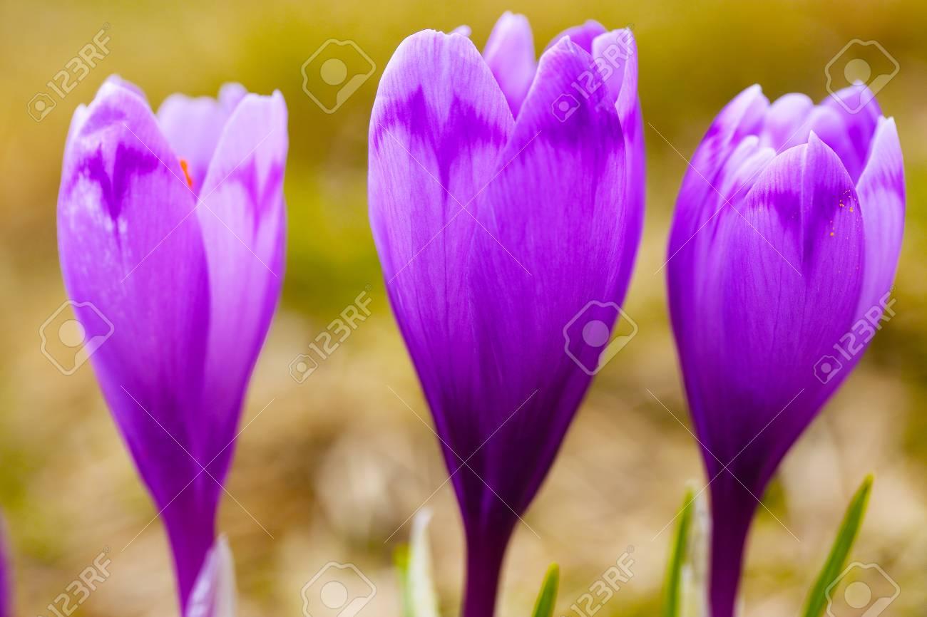 Purple Crocus Flowers In Snow Awakening In Spring To The Warm