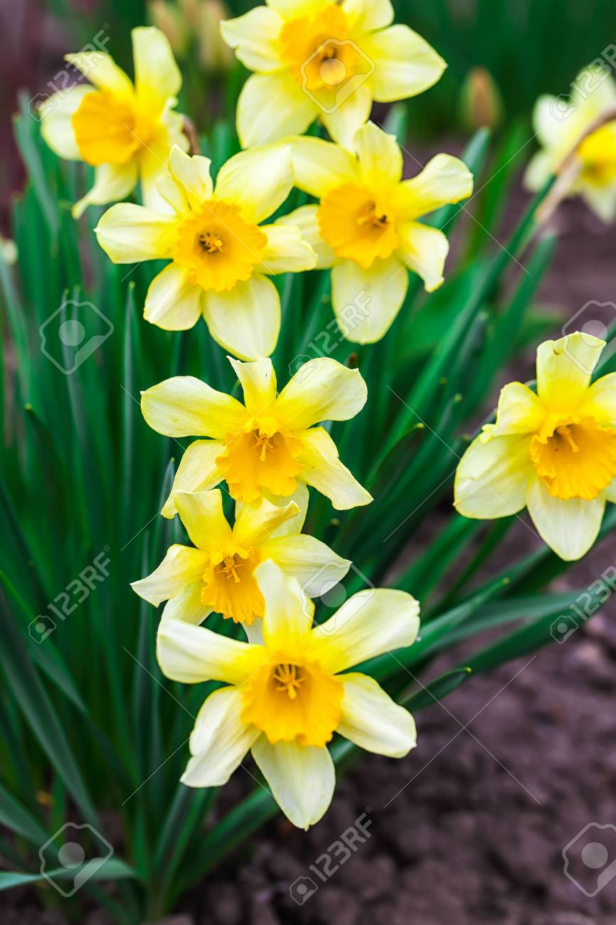Narcissus Spring Yellow Flowers On Sunshine Glade Shallow Dof