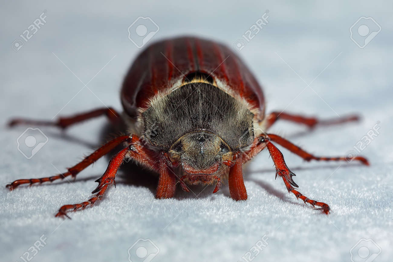 Cockchafer beetle. Extreme close up. Shallow DOF - 170378877