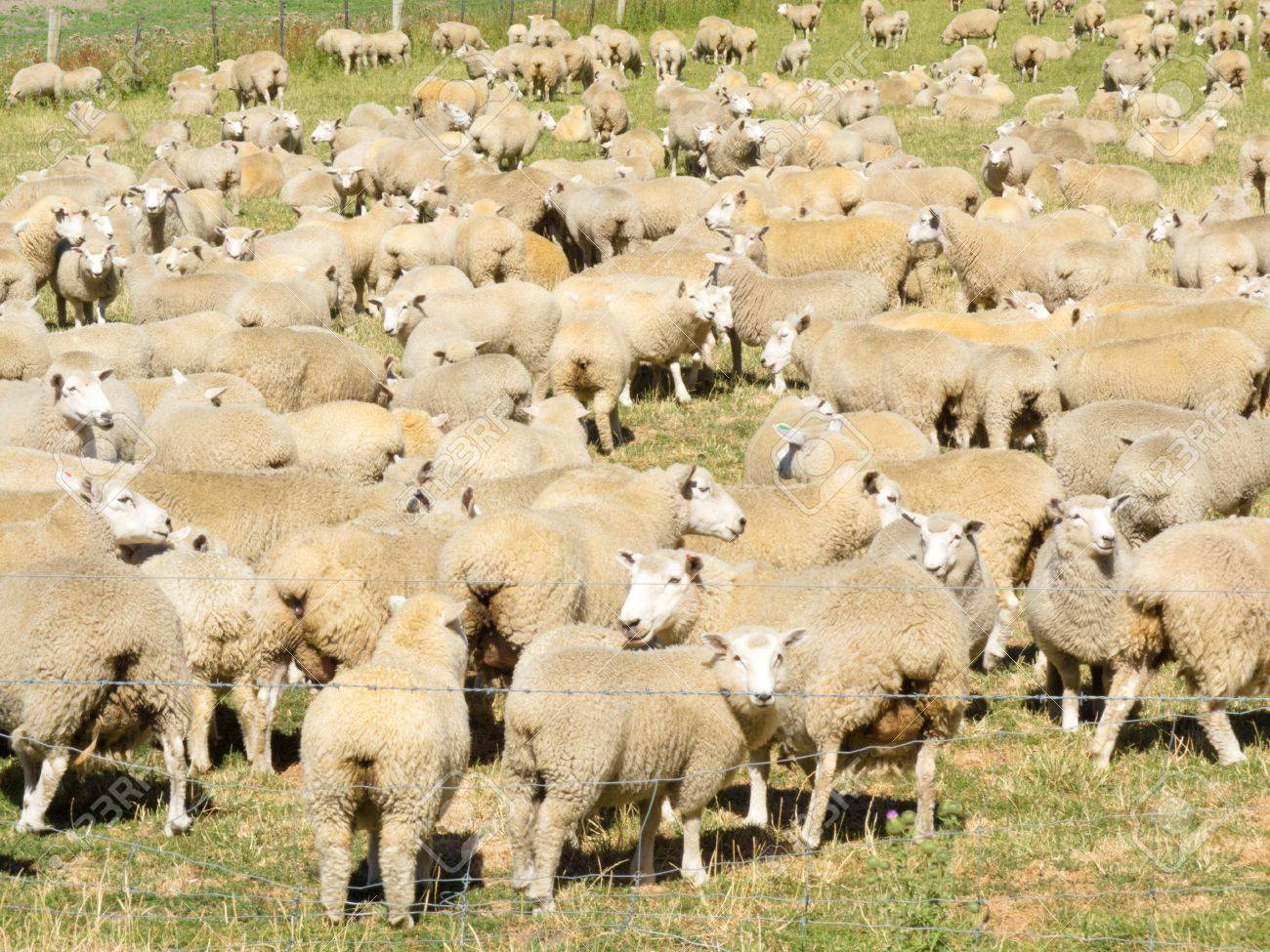 Flock of woolly sheep with heavy fleeces standing close together in a field Stock Photo - 14333940