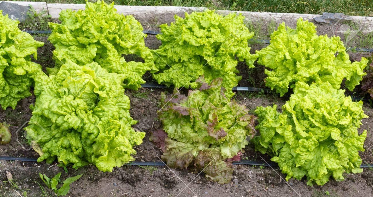 Hochbeet Mit Frischen Leckeren Biologischem Anbau Kopfsalat