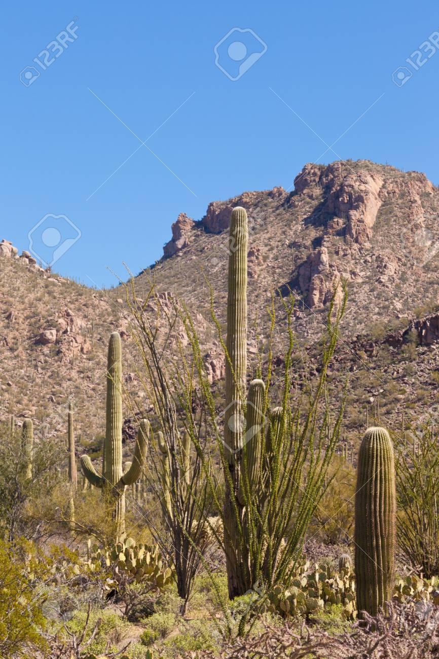 砂漠の緑のソノラ砂漠の植物と象...
