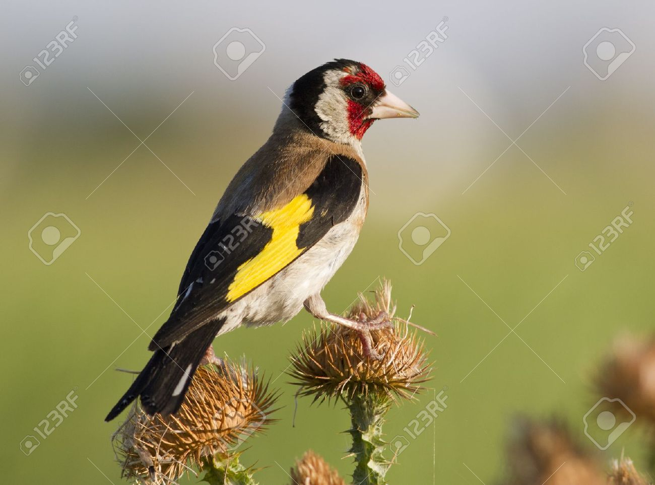 European goldfinch  Carduelis carduelis  sitting on a branch at sunset thistle Stock Photo - 16176623