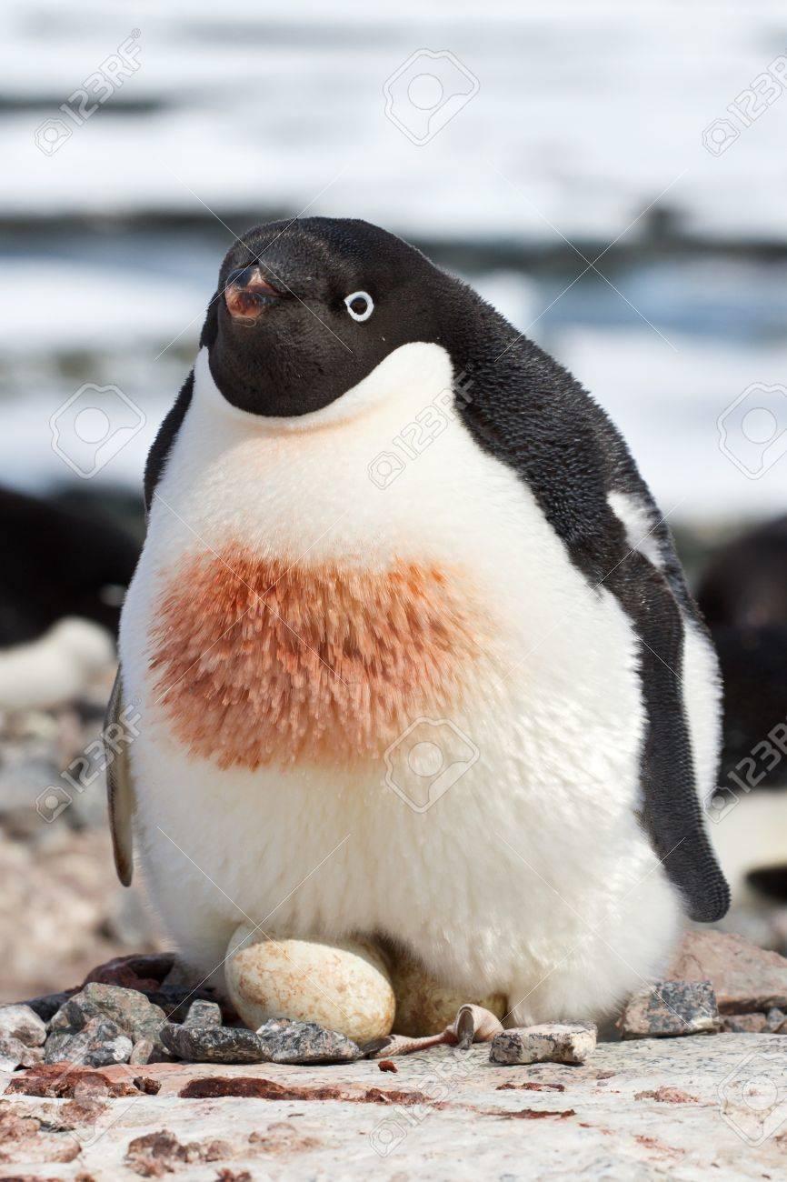 簡単な巣の 2 つの卵の孵る女性のアデリー ペンギン の写真素材・画像 ...
