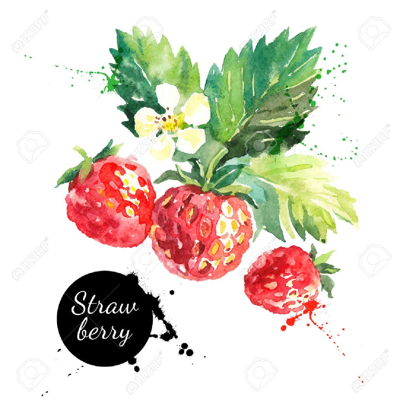Hand drawn watercolor painting strawberry on white background. Vector illustration of berries - 42910596