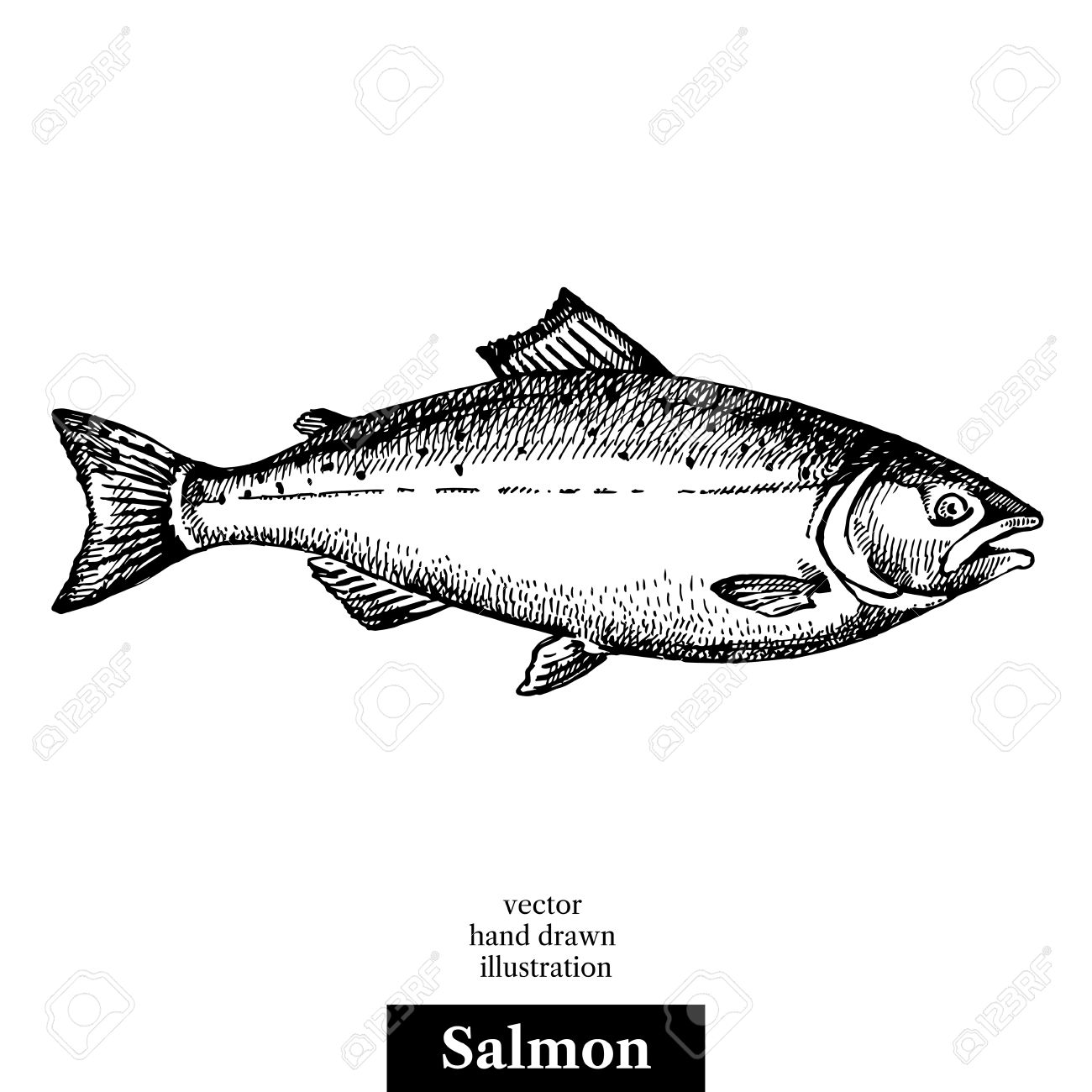 Hand drawn sketch seafood vector black and white vintage illustration of salmon fish. Isolated object on white background. Menu design - 60555720