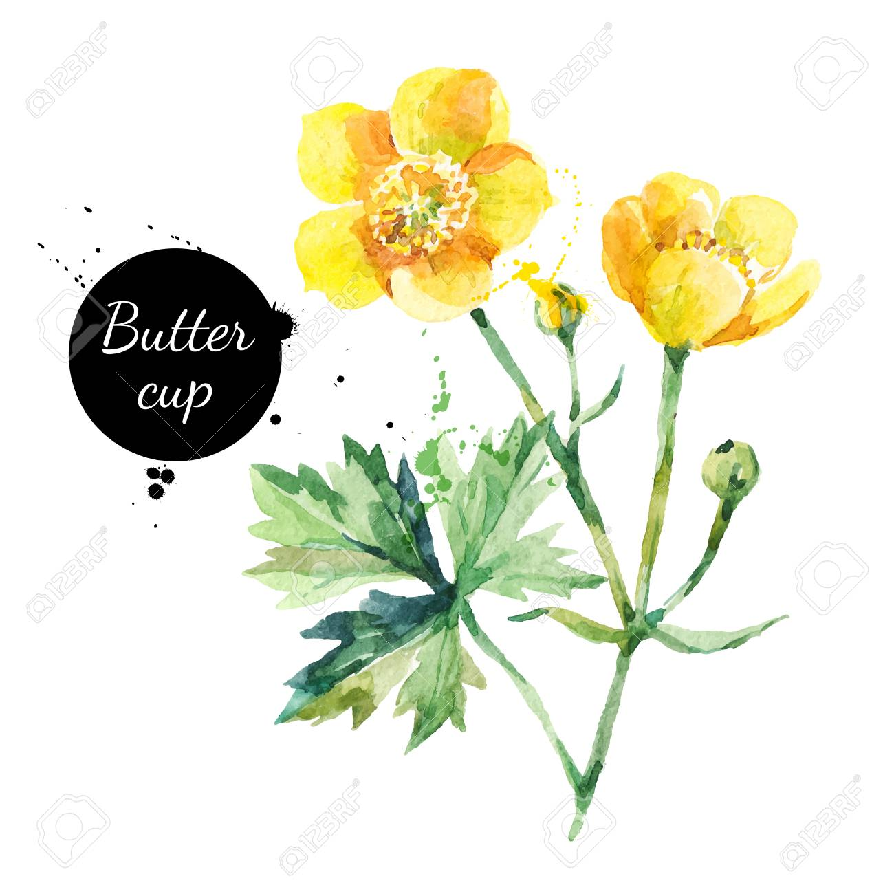 b5e3f3daf7748 Hand drawn watercolor yellow buttercup flower illustration. Vector painted  sketch botanical herbs isolated on white