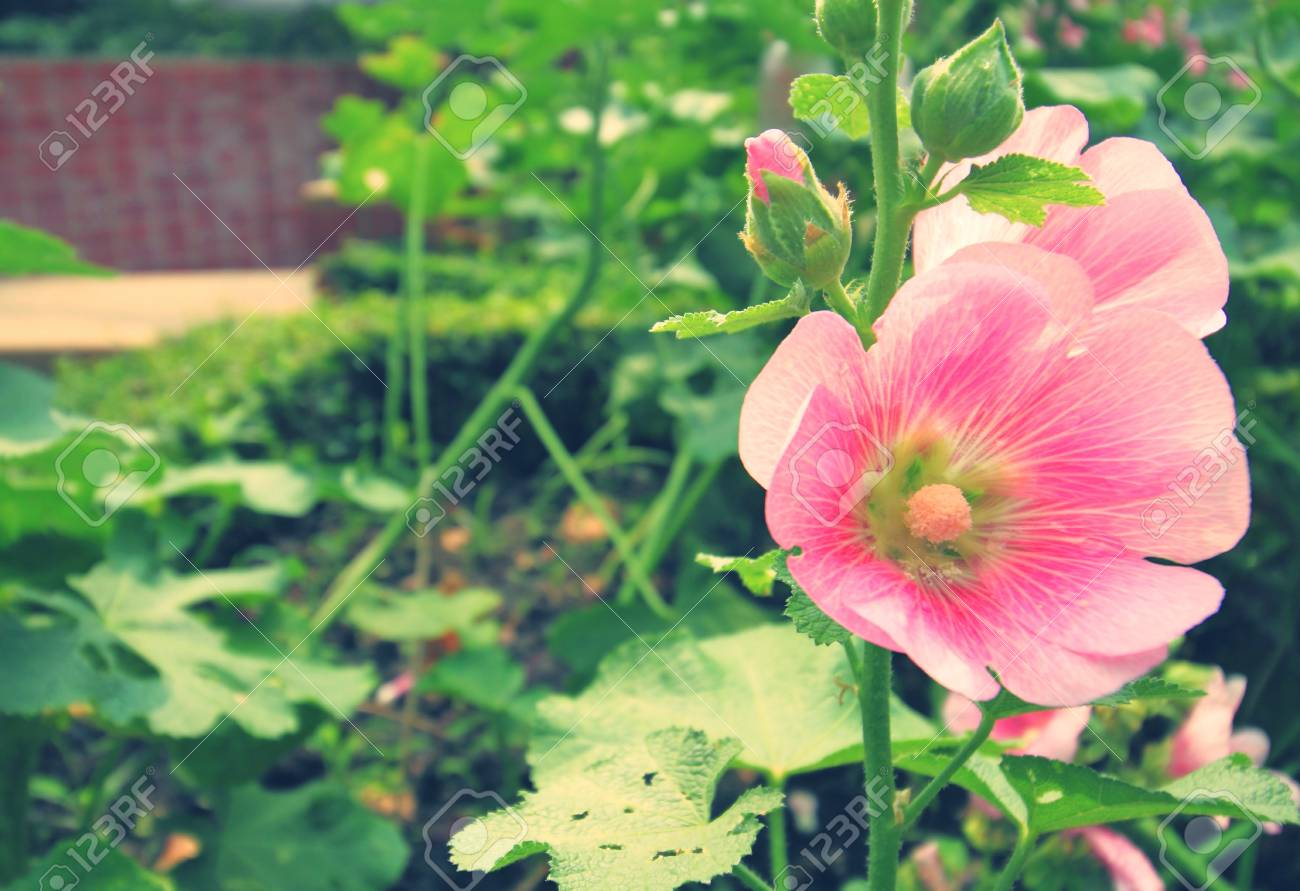 An Orchid-pink-color Rose Of Sharon Flower Blooms In The Garden ...