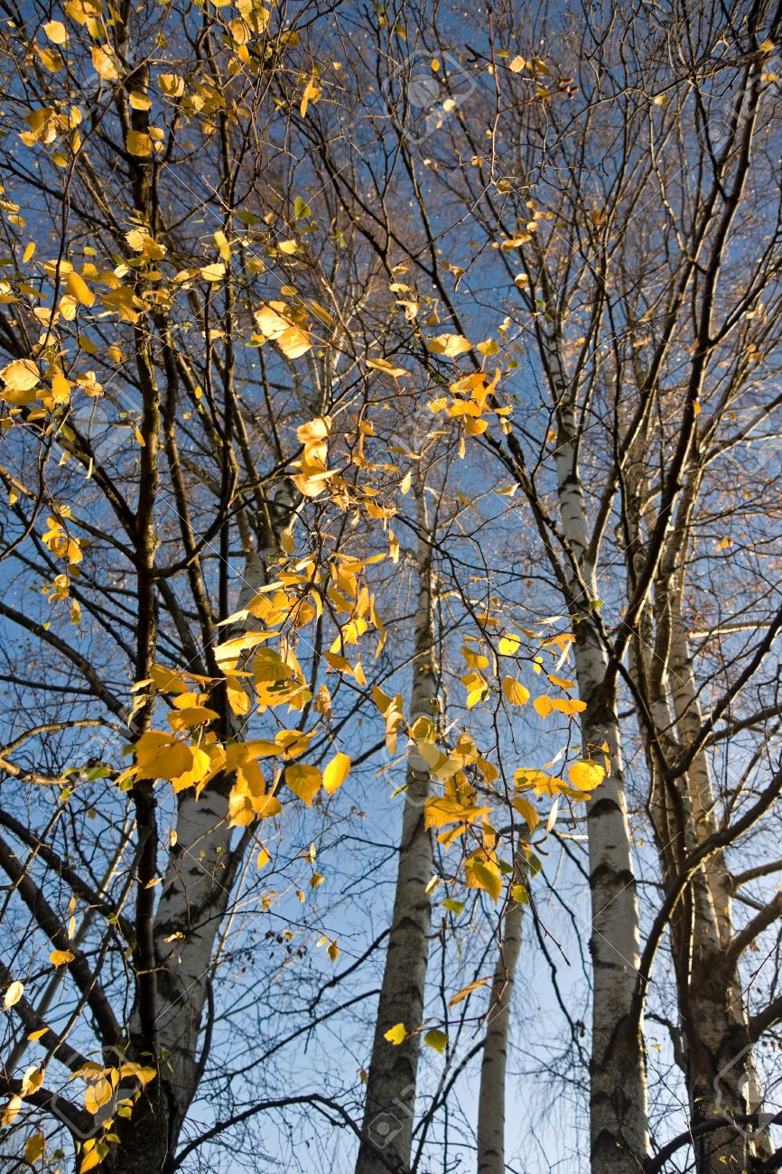 Birch Trees In The Autumn Just Before The Last Leaves Fall Off Stock Photo Picture And Royalty Free Image Image 8305180