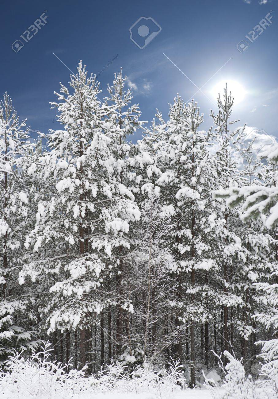 Forest with pine trees covered in snow with blue sky Stock Photo - 8501615