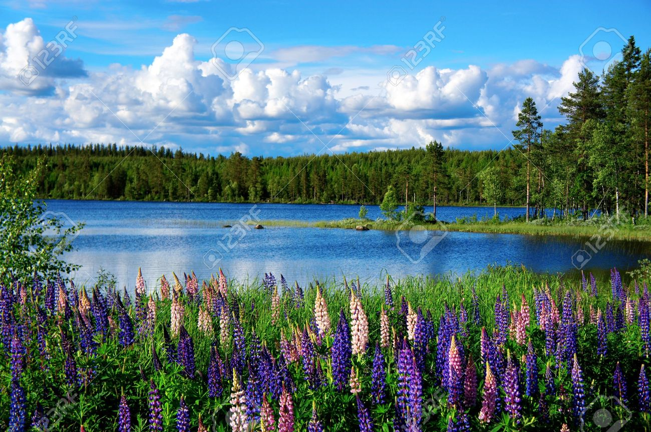 Beautiful Scandinavian summer landscape with lupies and lake - 14456943
