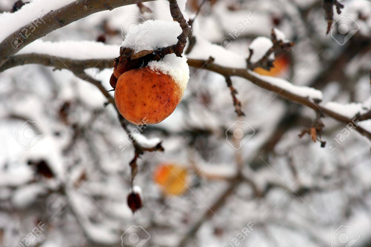 Winter apple in tree covered in snow Stock Photo - 16651951