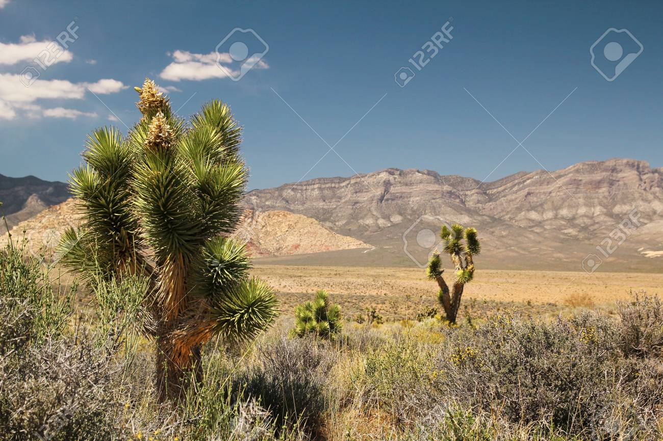 Joshua tree in at red rock canyon in Nevada Stock Photo - 21376593