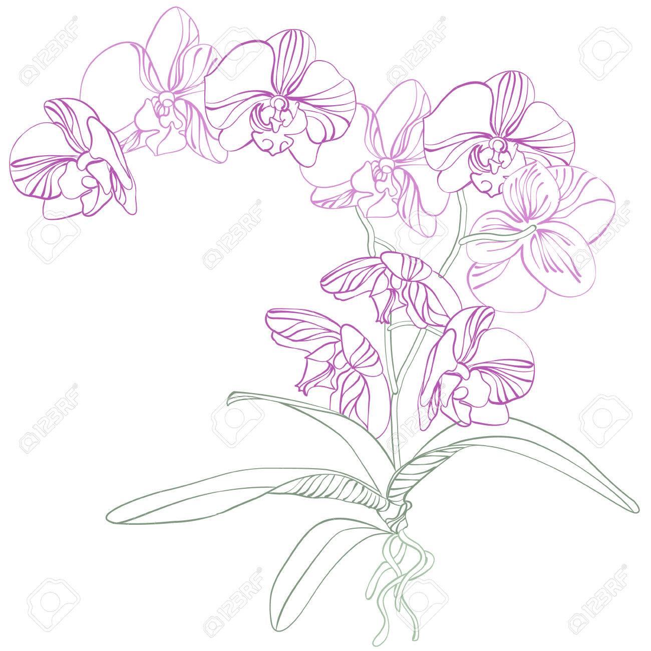 Phalaenopsis orchid Stock Vector - 7859149