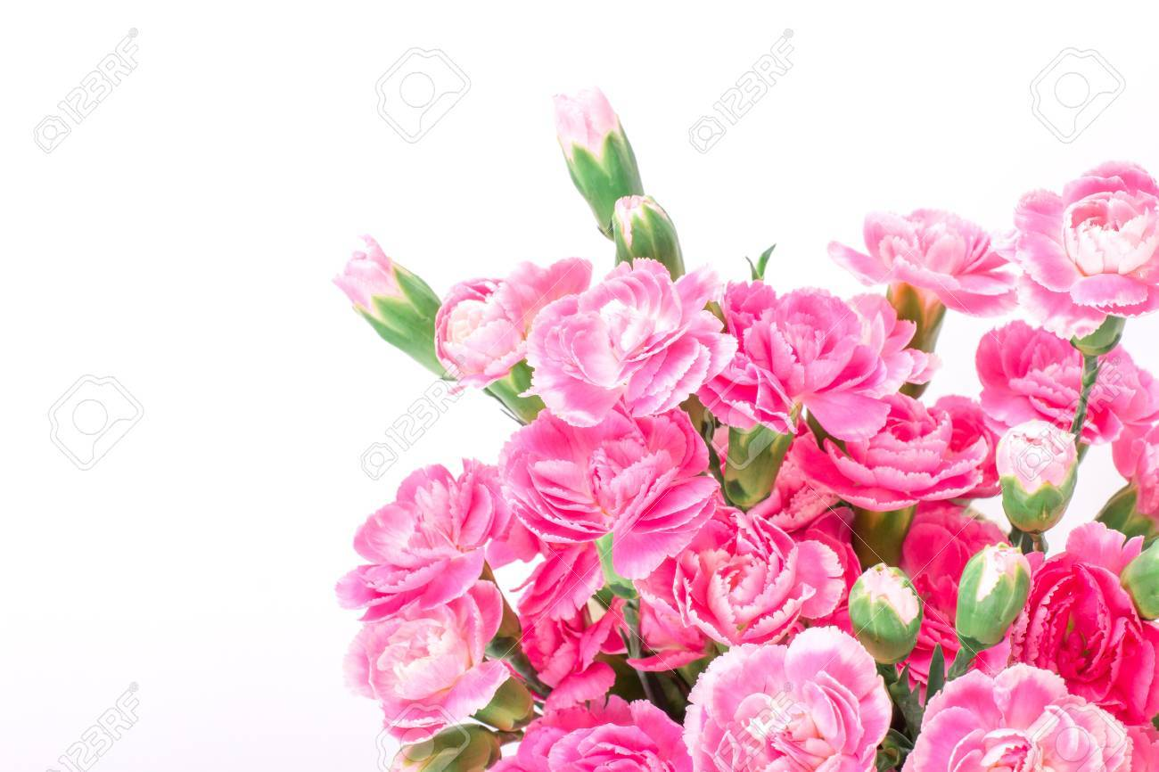 Beautiful Blooming Of The Pink Carnation Flowers On A White