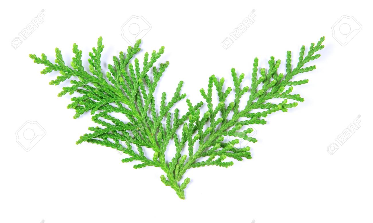 Top Fresh Green Pine Leaves , Oriental Arborvitae, Thuja Orientalis &CI_64