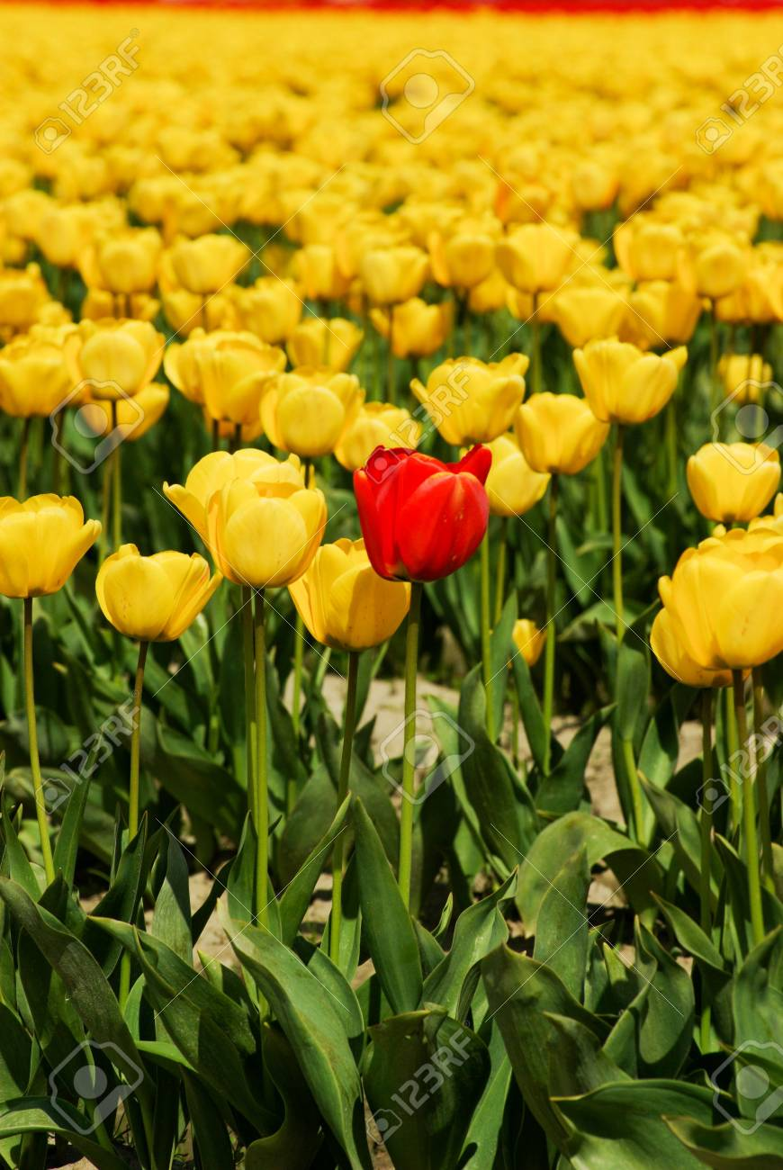 Red Tulip Stock Photo - 4735252
