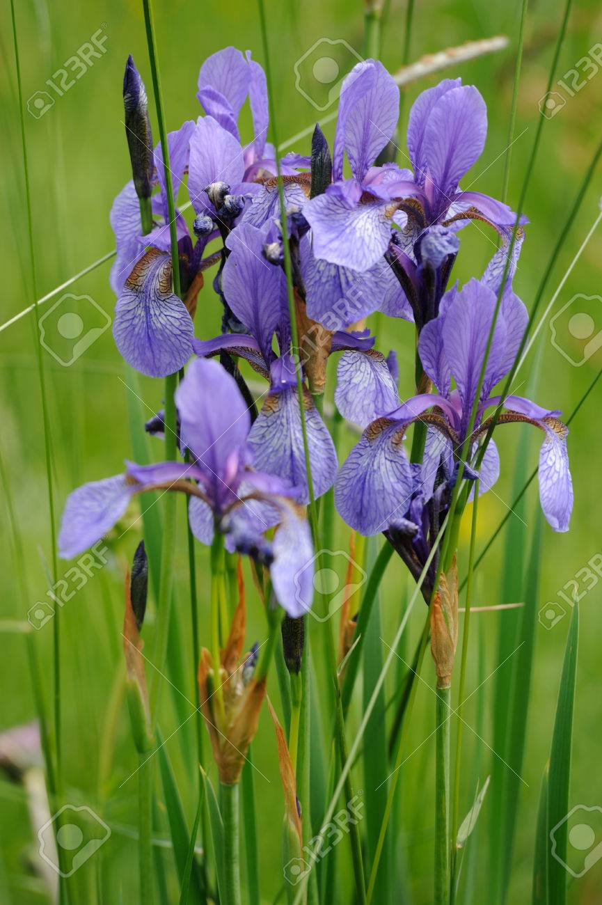 Colorful Wild Iris Flowers On A Green Meadow In Early Summer Stock