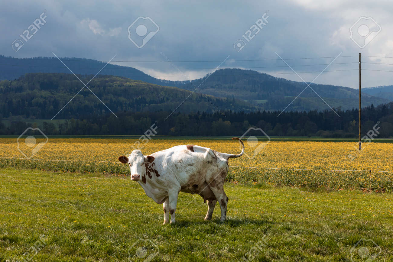 Isolated spotted cow in a green field of the Swiss Alps in the canton of Jura. Nature on a cloudy day. Nobody inside - 170380015