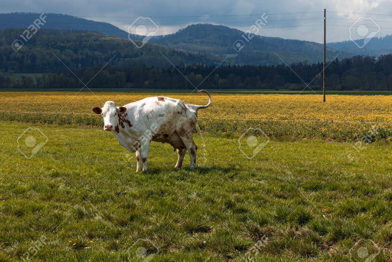 Isolated spotted cow in a green field of the Swiss Alps in the canton of Jura. Nature on a cloudy day. Nobody inside - 170380032