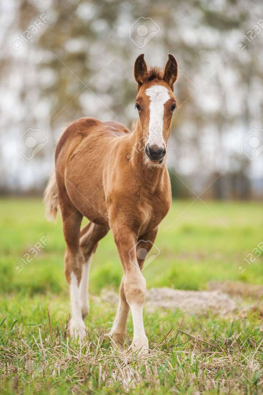 Chestnut Baby Foal Of Draught Horse Stock Photo Picture And Royalty Free Image Image 51111773