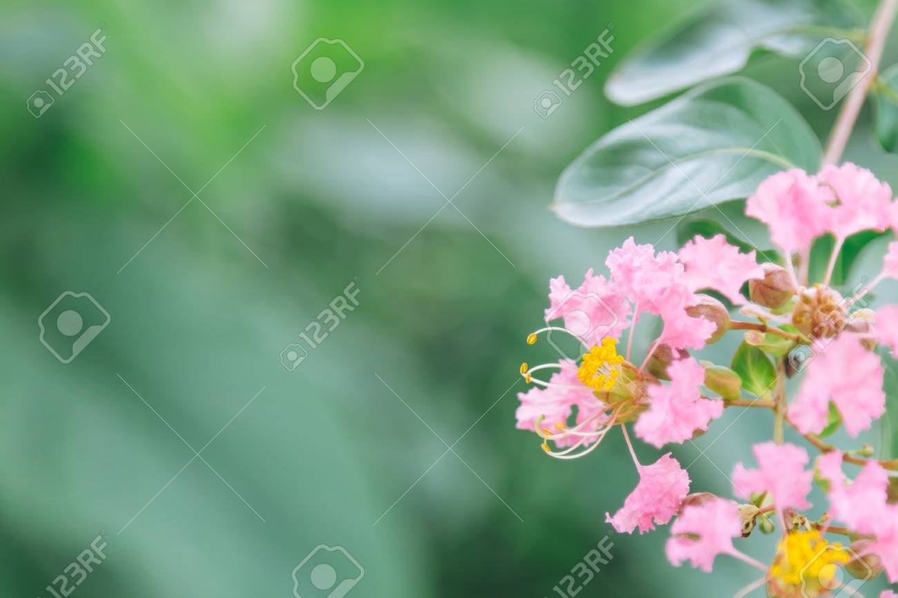 Beautiful pink flowers, Crape myrtle, Crape flower, Indian lilac (Yi-Kheng) - 92645689