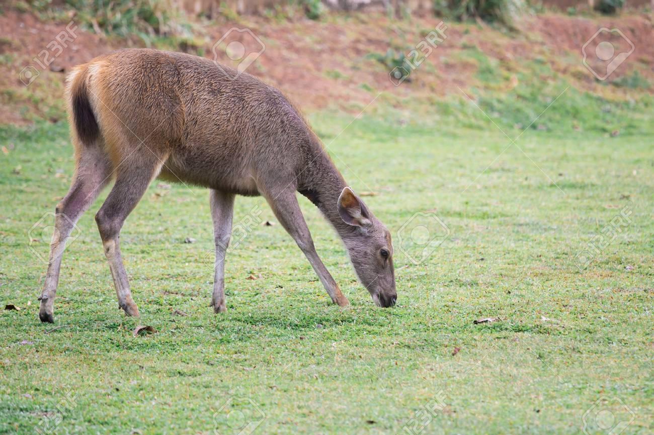Deer graze in broad grass. - 99278062