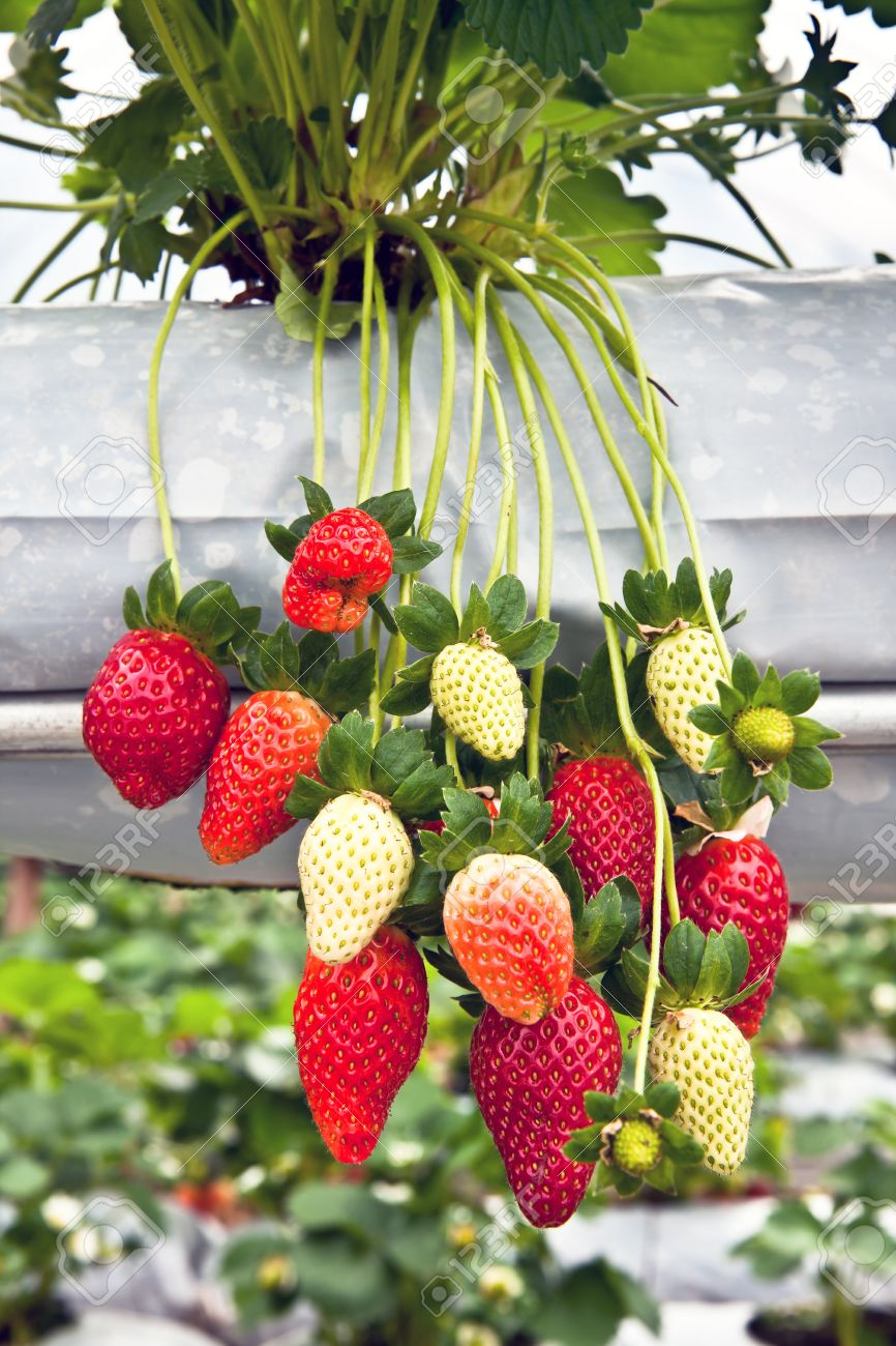 strawberry tree in the garden, cameron highlands, malaysia stock, Beautiful flower