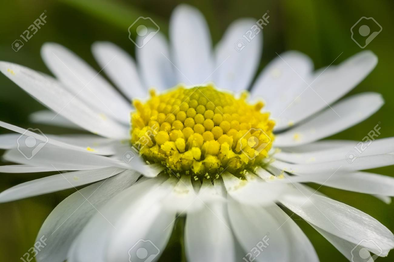 Enlarged section of the daisy flower an explosion of color and enlarged section of the daisy flower an explosion of color and details of a common izmirmasajfo