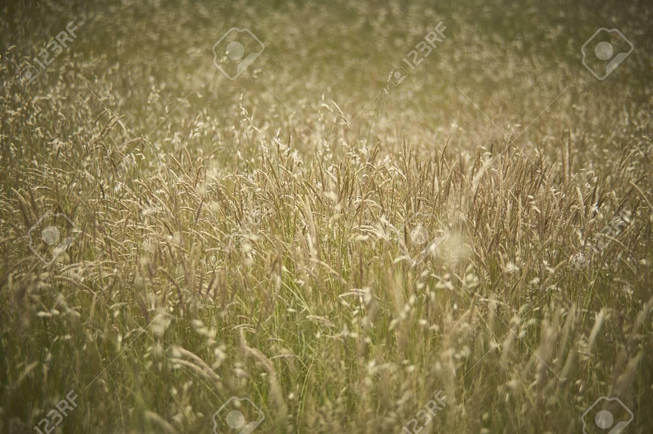 wild grass texture. Stock Photo - Texture Of A Field Full Wild Grass Growing Uncooked. Texture D