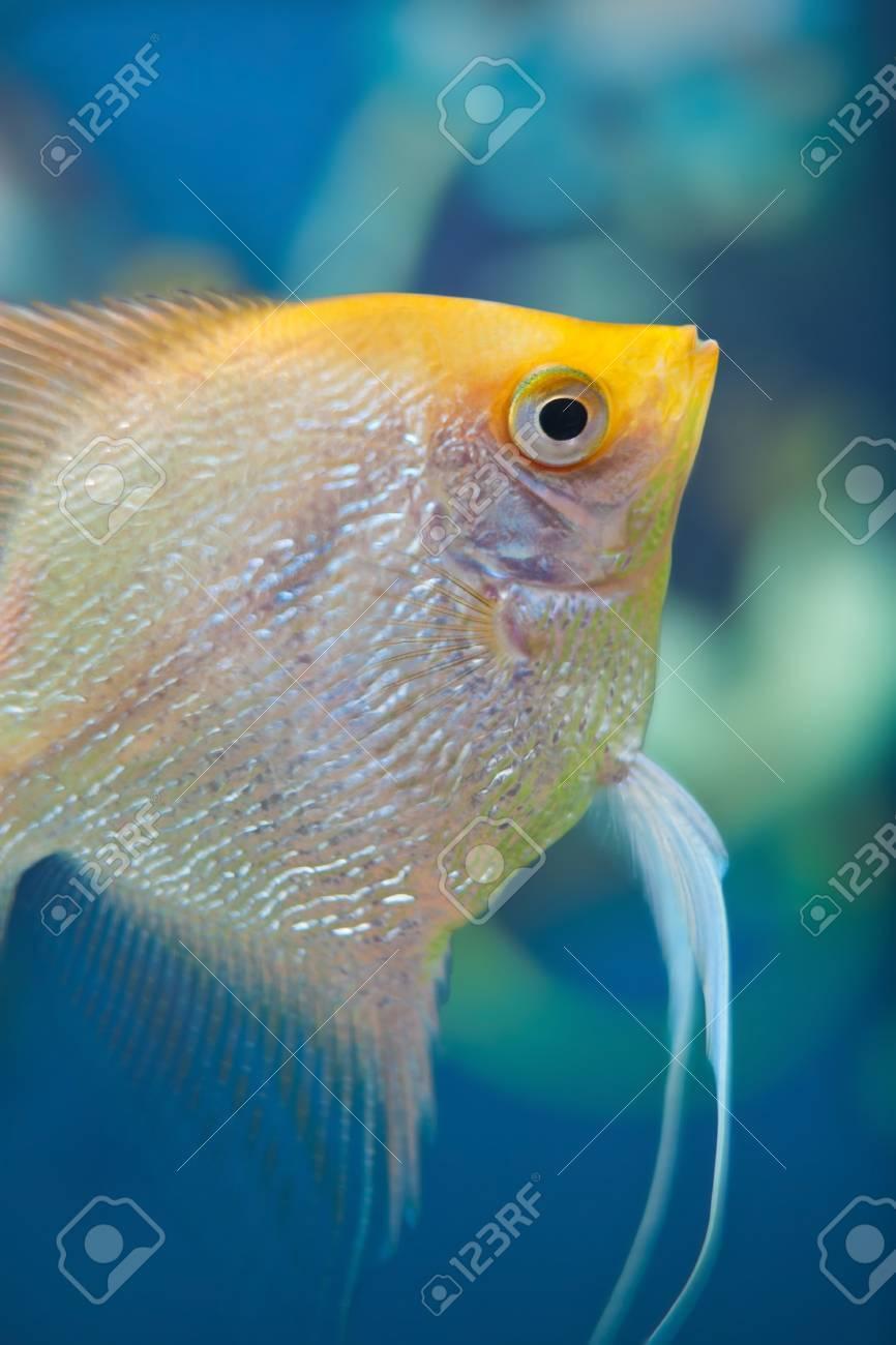 Angelfish (Pterophyllum scalare) in the fish tank Stock Photo - 12449997