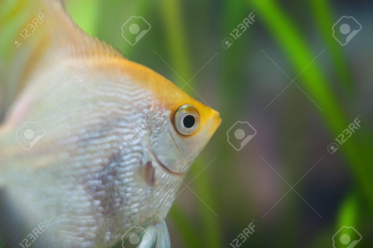 Angelfish (Pterophyllum scalare) in the fish tank Stock Photo - 12449995