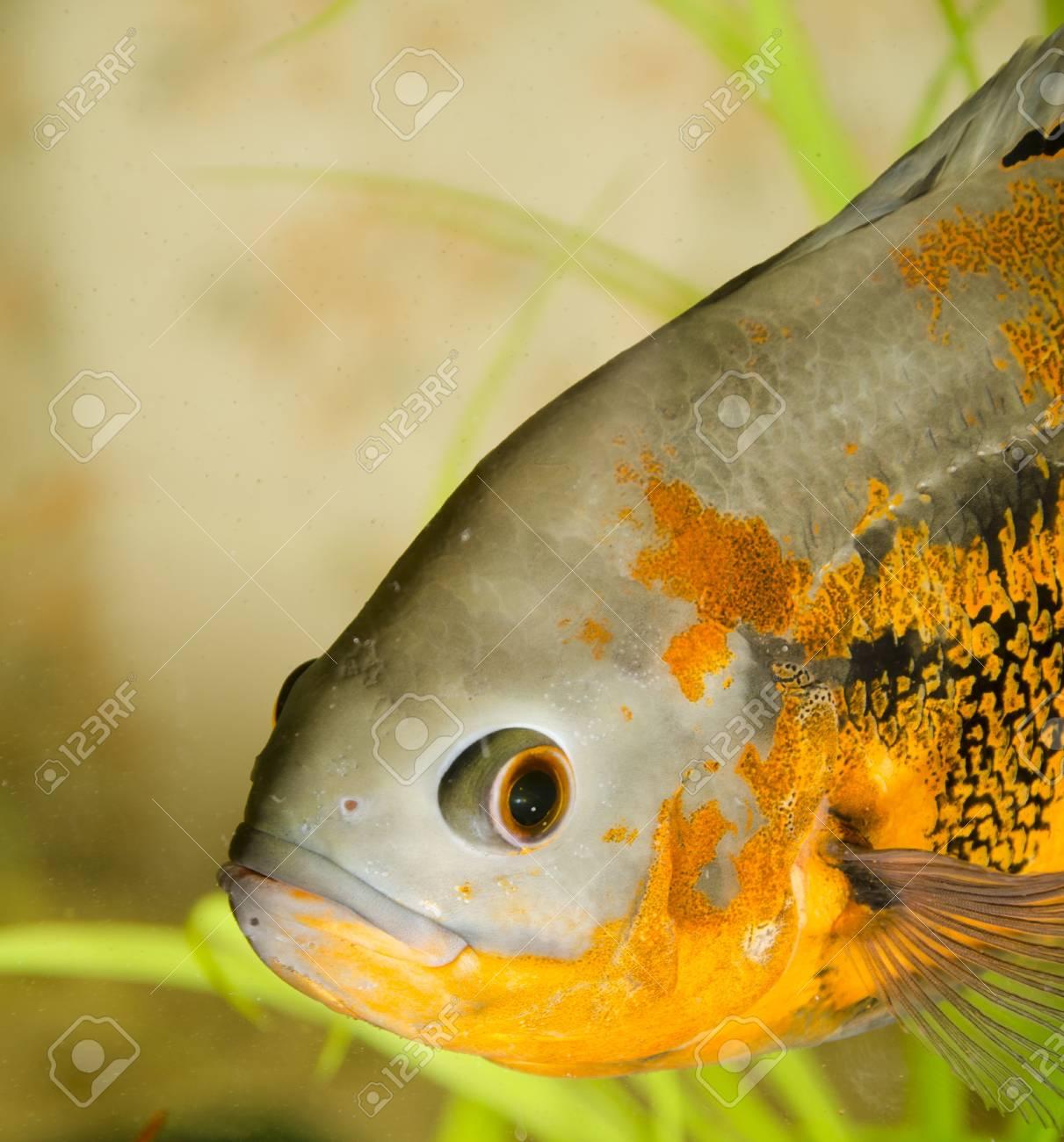 Astronotus in an aquarium Stock Photo - 17167654