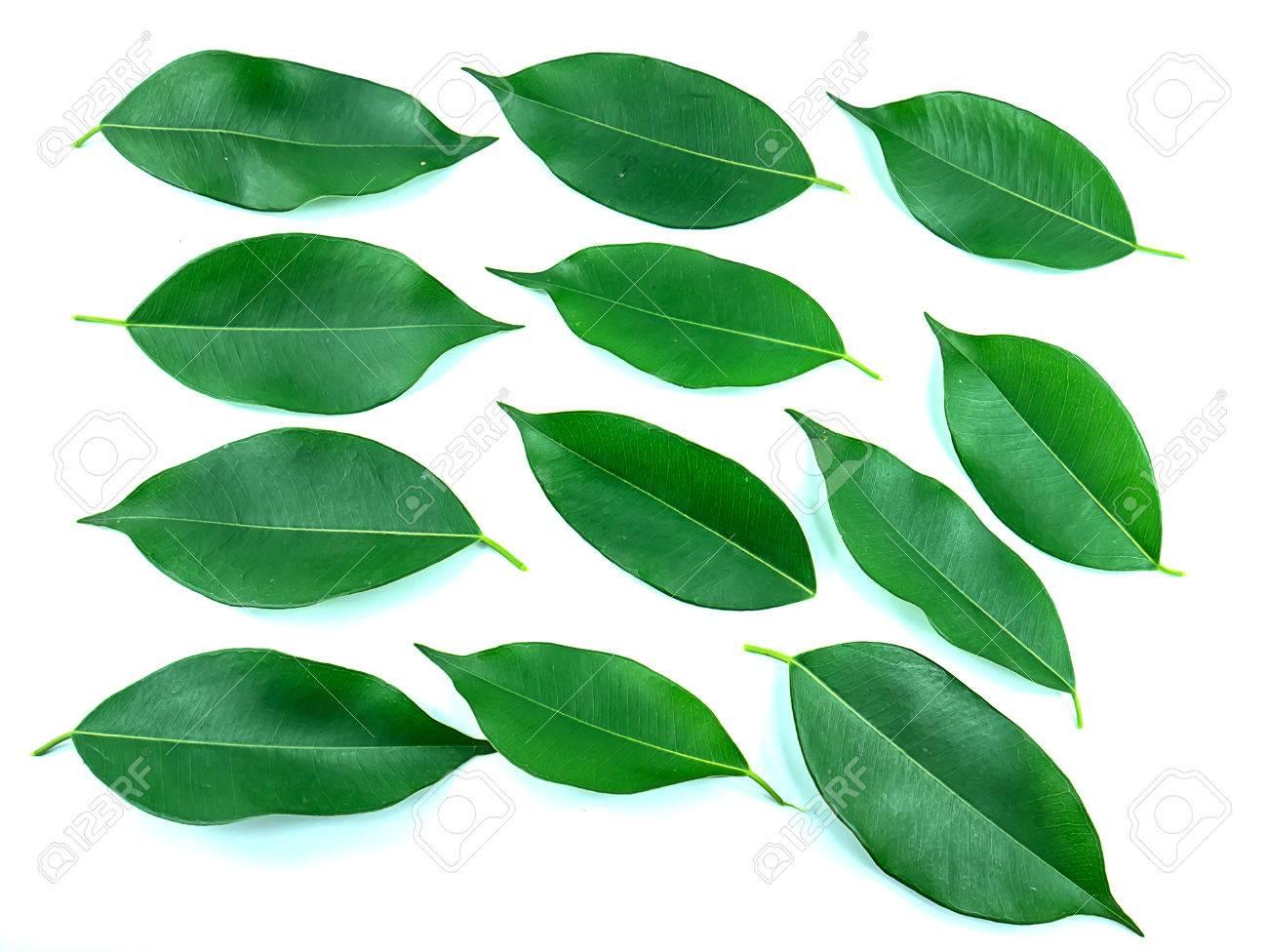 イチジクの木の葉っぱ の写真素...