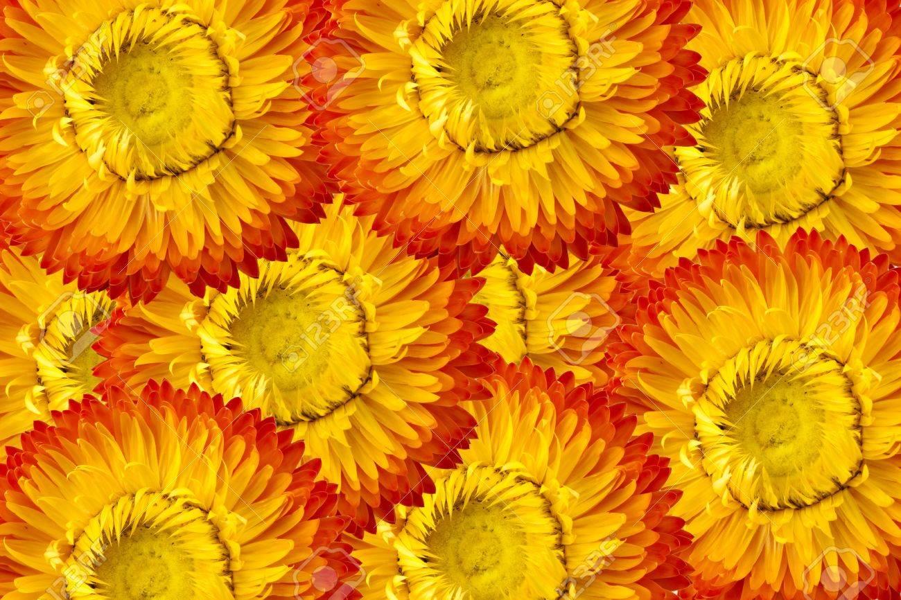 texture straw flower or everlasting (Helichrysum bracteatum) Stock Photo - 12387834