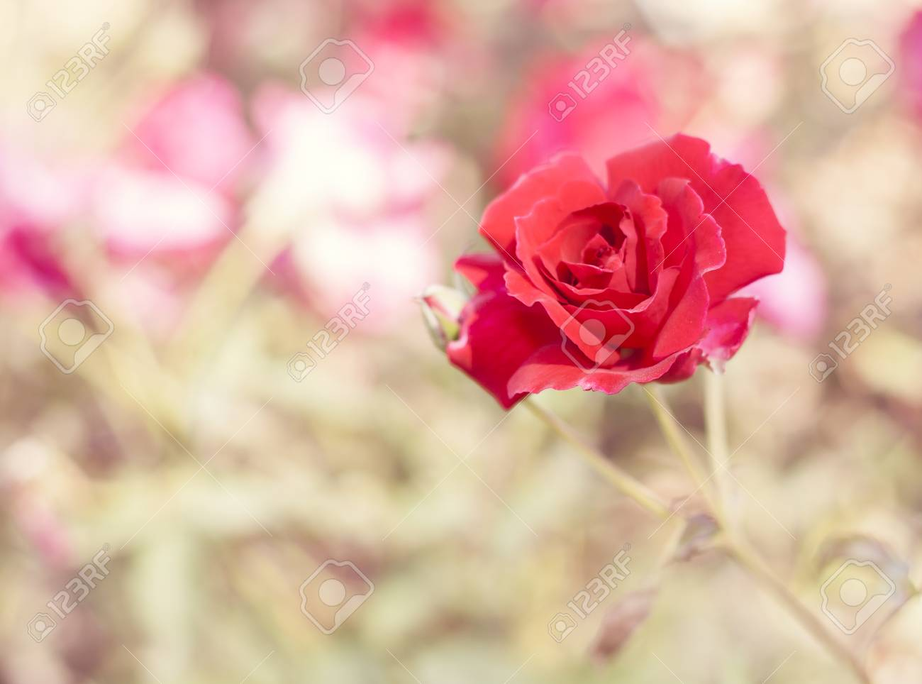 Beautiful Red Rose Flower Blurred Background Flowers Of Spring