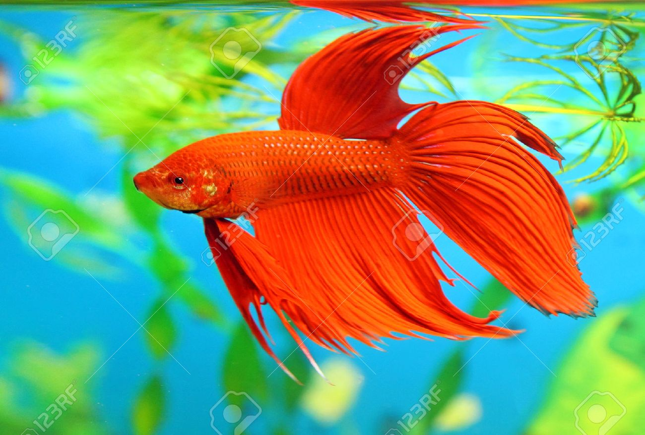 Betta Fish Stock Photos. Royalty Free Betta Fish Images