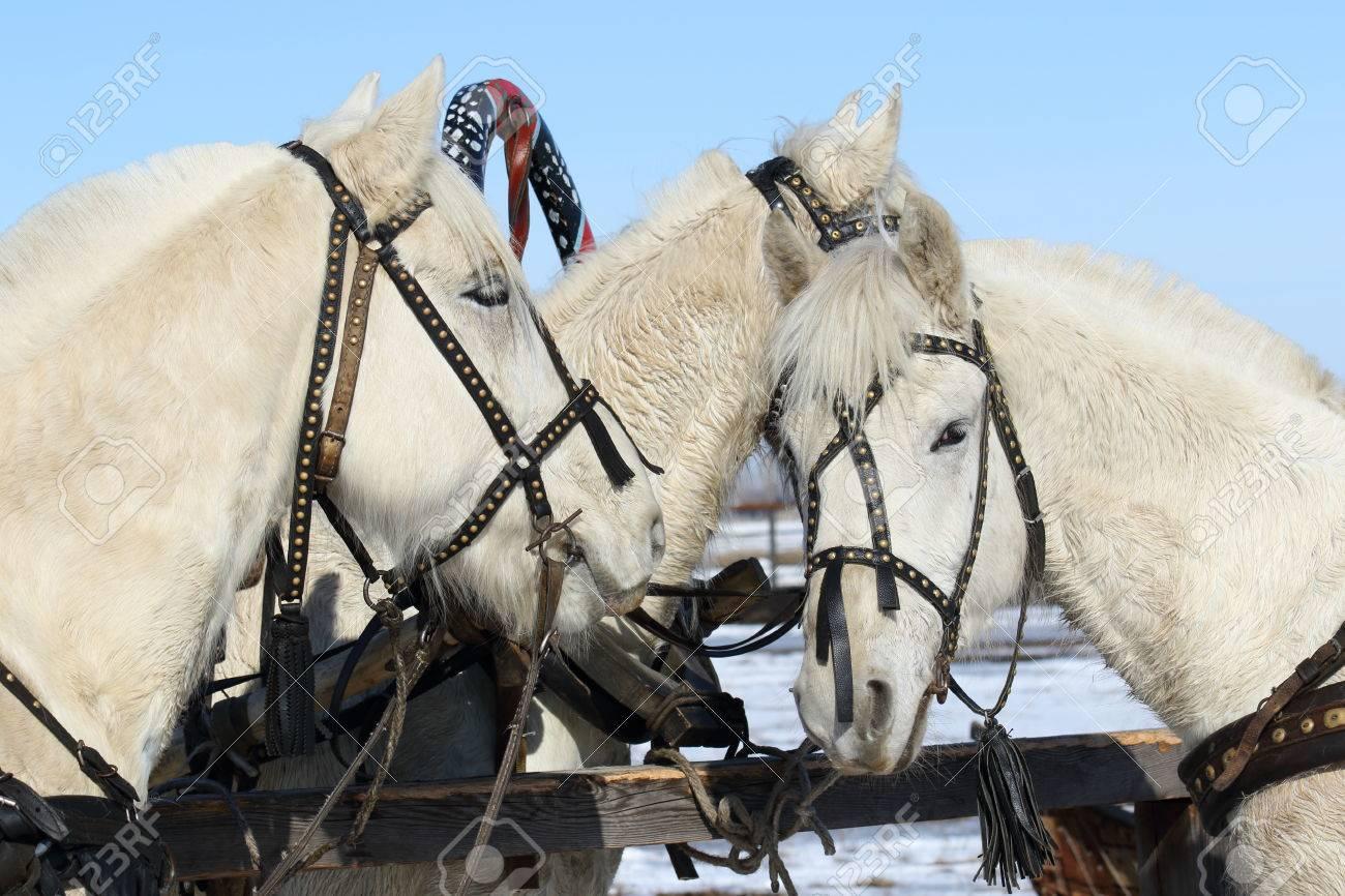 Three gray horses at a hitching post