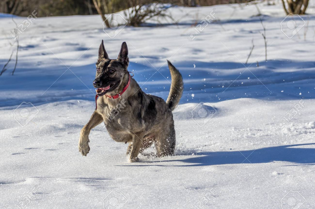 German Shepherd On Fresh Snow With A Funny Face Stock Photo Picture