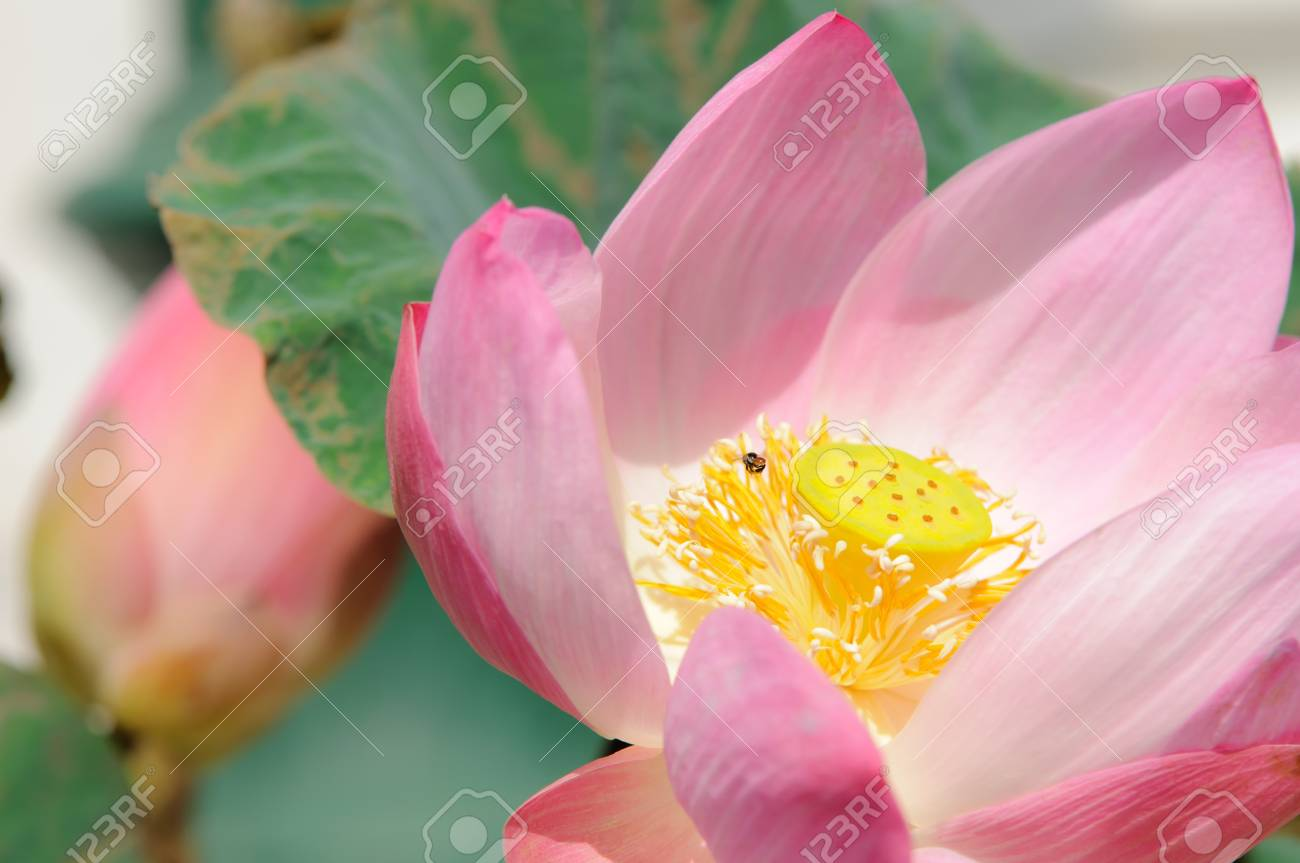 Close up a pink lotus flower blossom stock photo picture and close up a pink lotus flower blossom stock photo 15717466 izmirmasajfo