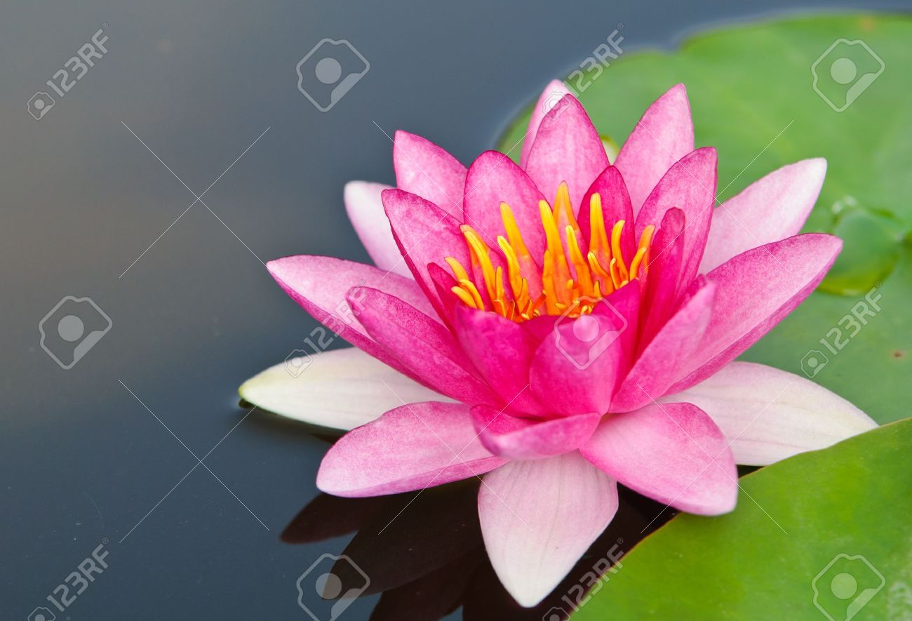 Water lily stock photos royalty free water lily images pink lotus blossoms or water lily flowers blooming on pond in the garden stock photo izmirmasajfo Gallery