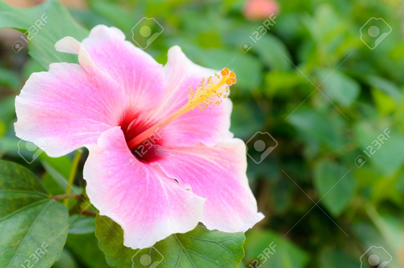 Beautiful Pink Hibiscus Flower In The Garden Stock Photo Picture