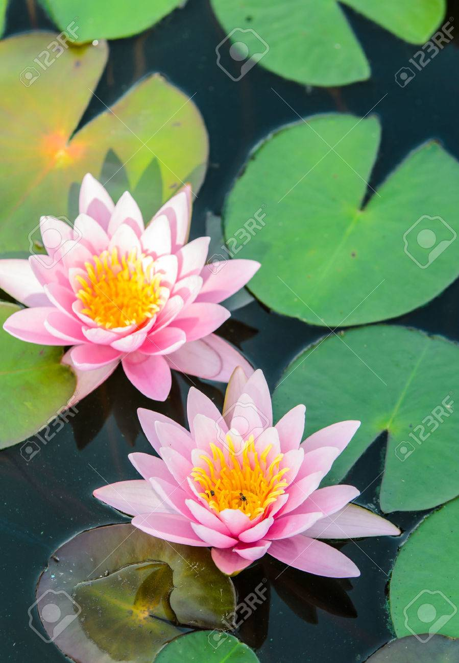 Water Lily Lotus Flower In Nature Stock Photo Picture And Royalty