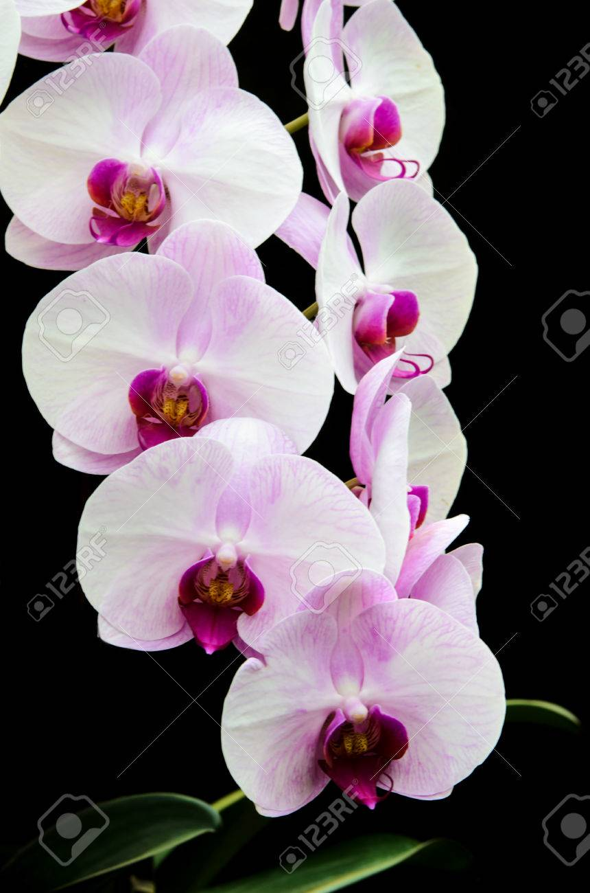 Nature Beautiful Orchid Flowers Wallpaper