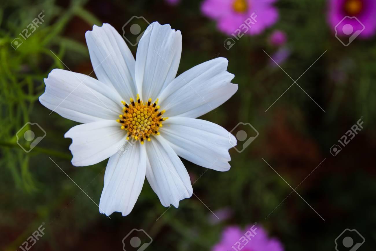 White cosmos flowers in the garden cosmos bipinnatus stock photo white cosmos flowers in the garden cosmos bipinnatus stock photo 81524008 mightylinksfo