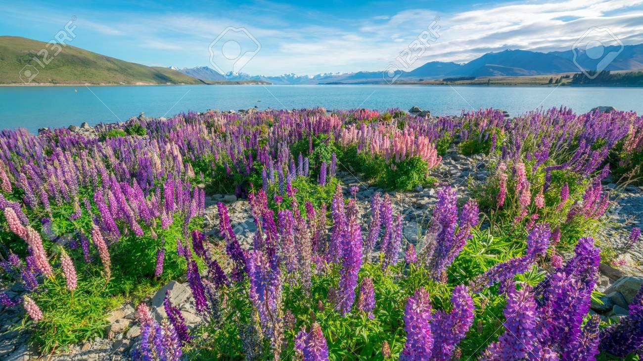 Paysage Au Lac Tekapo Et Au Champ De Lupin En Nouvelle Zelande